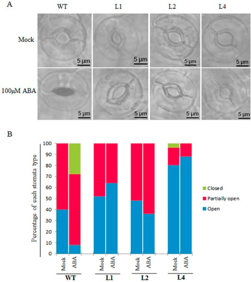 Stomata movement of OsPP108 overexpression transgenic lines under ABA treatment.(A) Stomata aperture of 4 week old WT and OsPP108OX lines, L1, L2 and L4, in mock treatment (Stomata Opening Solution; SOS) (upper panel) and 100μM ABA (lower panel). 30 stomata were analyzed for each genotype and representation of those are shown in pictures (n = 3). Pictures were taken at 60x magnification in Olympus BX53 fluorescence microscope in bright field. Scale bar = 5μM. (B) Graph depicting percentage of different type of stomata (closed, partially open and open) in WT and OsPP108OX transgenic in mock and ABA treatments. Stomata were grouped based on apertures sizes, i.e., open- 2.5–5.0μM, partially open- 1.0–2.5μM and closed- < 1 μM. Percentage of stomata is calculated based on the average of three independent replicate experiments.