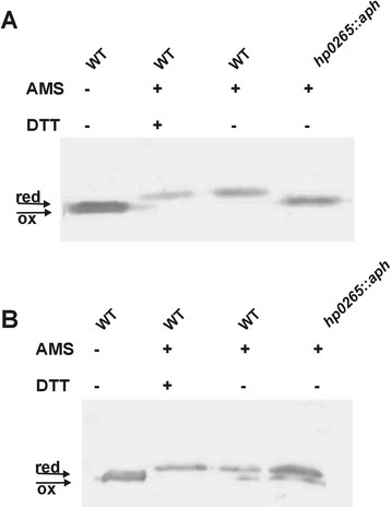 Redox state of HP0377 in wt and mutant: hp0265::aph measured for cells grown in the absence (a) or presence (b) of DTT. Bacterial cultures were treated with 10 % TCA, followed by alkylation with AMS. Cellular proteins including the reduced (red; DTT treated, modified with AMS) and the oxidized (ox; non-modified with AMS) controls were separated by 14 % SDS-PAGE under non-reducing conditions, and Western blot analysis using antibodies against HP0377 was performed. Each lane contains proteins isolated from the same amount of bacteria