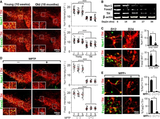 Reduction of Nurr1 and Foxa2 in mDA neurons during aging and degenerationA–C Nurr1 and Foxa2 protein levels in mDA neurons decrease in the midbrains of old mice in vivo (A) and in vitro after long-term culture (B and C). (A) Nurr1 and Foxa2 protein levels were compared in individual mDA neurons of the midbrains of young (10 weeks) and old mice (18 months) of the same mouse strain (C57BL/6, male). All the midbrain sections were immunofluorescently co-stained with Nurr1/TH (upper) and Foxa2/TH (lower) under identical conditions, and levels of Nurr1 and Foxa2 proteins were determined in individual TH+ mDA neurons by measuring mean fluorescence intensities (MFI) using LAS image analysis (Leica). Dots in the graphs represent the Nurr1 and Foxa2 MFI values of individual TH+ DA neurons in the SN of each animal. The average MFI values (indicated by horizontal lines) of three animals from each group were compared (***P = 5.25E-88 for Nurr1 intensity, 5.57E-40 for Foxa2 intensity, one-way ANOVA followed by Bonferroni post hoc test). Nurr1 and Foxa2 protein levels were also quantified in cultured mDA neurons over 6–34 days in vitro by Western blotting (B) and by immunocytochemical analysis (C). Significantly lower MFI values on day 24 of culture (D24) compared to D12 at *P = 0.027 (Nurr1), *P = 0.012 (Foxa2), n = 60–70 TH+ cells from two cultures in each group, unpaired Student's t-test.D, E Loss of Nurr1 and Foxa2 expression in mDA neurons after treatment with the neurotoxin MPTP (or MPP+). Mice (10 weeks old) were treated with MPTP for 5 days as described in Materials and Methods. Three days after the last MPTP injection, Nurr1 and Foxa2 protein levels in the TH+ mDA neurons of the MPTP-treated SN were compared with in the mDA neurons of untreated mice (D) (***P = 5.47E-103 for Nurr1 intensity, 1.53E-111 for Foxa2 intensity, one-way ANOVA followed by Bonferroni post hoc test.). The effects of neurotoxin treatment were also determined in mDA neuron cultures treated with MPP+ (250 μM, 8 h, E). *P = 0.015 (% Nurr1+/TH+ cells), *P = 0.018 (% Foxa2+/TH+ cells), unpaired Student's t-test.