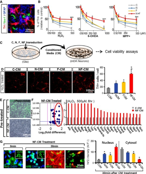 Forced expression of Nurr1 and Foxa2 protects mDA neurons from toxic insults in vitroA Representative image for TH+ (mDA neuron), GFAP+ (astrocyte), and Iba-1+ (microglia) cells in mDA neuron–glia cultures used in the gain-of-function experiments.B mDA neurons in the cultures transduced with Nurr1 and/or Foxa2 are resistant to toxic stimuli induced by H2O2 (50–500 μM), 6-OHDA (50–1,000 μM), or MPP+ (50–500 μM). The mDA neuron–glia cultures were transduced with lentiviruses expressing Nurr1 (N), Foxa2 (F), Nurr1 + Foxa2 (NF), or control (C) and treated with the toxin for 8 h. Viable TH+ cells were counted on the following day. Shown in the graphs are percent TH+ cells relative to the respective toxin-untreated cultures. TH+ cells of C, N, F, and NF were compared at the same concentrations of the toxins. Significantly different from the control (C)*, from N#, and from F‡ at P < 0.05, n = 10 cultures each; one-way ANOVA followed by Bonferroni post hoc test.C, D Forced expression of Nurr1 and Foxa2 in glia exerts neuroprotective roles on mDA neurons in a paracrine mode. Experimental scheme (C) to test the effects of paracrine factors released from Nurr1-/Foxa2-expressing glia. Mixed astrocytes + microglia cultures (derived from VM tissue of mouse pups on postnatal day 1) were transduced with N, F, NF, or C, and conditioned media (CM) were prepared from the transduced glia and added to mDA neuron cultures. Two days after the CM treatment, H2O2 (500 μM, 8 h)-mediated cell death was measured by counting viable TH+ cells (D). Significantly different from the control (C-CM)*, N-CM#, F-CM‡ at P < 0.05. P-values: 0.031 (N-CM*), 0.021 (F-CM*), 0.017 (NF-CM*), 0.022 (NF-CM#), and 0.027 (NF-CM‡); one-way ANOVA followed by Bonferroni post hoc test.E–G NF-expressing glia secrete factors that reduce oxidative stress by inducing Nrf2-mediated antioxidant gene expressions. Oxidative stress measured by DCF (oxidative stress indicator) staining (E). Primary cultured mDA neurons were pre-treated with C-CM (upper) or NF-CM (lower) for 2 days and then exposed to H2O2 (250 μM) in the presence of the CM. Four hours later, DCF staining was carried out. (F) Expression array for antioxidant genes. mDA neuron cultures were pre-treated with C-CM, N-CM, F-CM, or NF-CM for 2 days before exposure to 500 μM H2O2 for 8 h, and mRNA expression levels of 39 antioxidant genes were estimated using an RT2 PCR Profiler ArrayR. Volcano plot (left) demonstrating a tendency for increased antioxidant gene expression in mDA neuron cultures with NF-CM treatment. The pink lines indicate the threshold of 1.5-fold changes in gene expression. The 23 antioxidant genes up-regulated 1.5-fold (circled) by NF-CM treatment relative to C-CM treatment are listed on the bar graph (right). (G) NF-CM treatment of mDA neurons activates cytosolic Nrf2 proteins (0 min) by inducing nuclear translocation (30 min). Shown in the graph are cytosolic and nuclear Nrf2 protein levels (MFI) 30 min after C-CM, N-CM, F-CM, and NF-CM treatments. *P < 0.05, n = 50–60 cells in each group. P-values: 0.032 (N-CM*), 0.029 (F-CM*), 0.019 (NF-CM*) for the Nrf2 intensity in nucleus, 0.029 (F-CM*), 0.039 (NF-CM*) for the Nrf2 intensity in cytosol; one-way ANOVA followed by Bonferroni post hoc test.