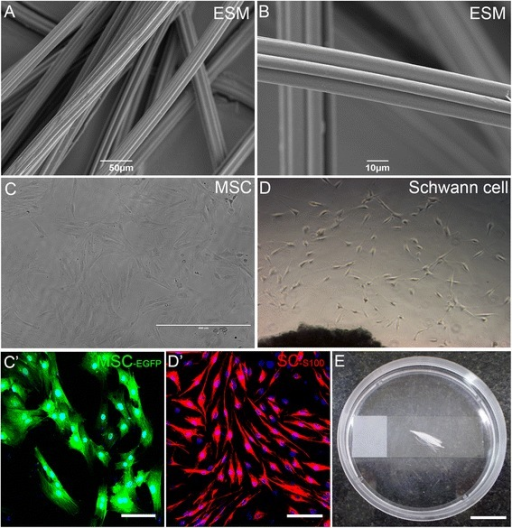 Setup for culture of PCL filaments with MSC or MSC with SC. a,b Scanning electron microscopy (ESM) photomicrographs of PCL filaments showing in low (a) and high (b) magnification the microstructured grooves formed by melting extrusion at 60 °C. c Phase-contrast photomicrograph and c' fluorescence photomicrograph in higher magnification of mesenchymal stem cells (MSC) in culture after three passages. In c' MSC expressed enhanced green fluorescent protein (EGFP; green), and nuclei are labeled in blue (DAPI labeling). d Phase-contrast photomicrograph of Schwann cells (SC) derived from adult sciatic nerve cultured for 10 days. d' Fluorescence photomicrograph of SC immunostained for S-100 (red) and nuclei labeled with DAPI (blue). The vast majority of cells are positive for S-100. e Photograph illustrating the culture system used, with a bundle of PCL filaments treated with plasma-O2/poly-D-lysine/laminin and incubated with MSC or MSC plus SC for 48 h. Scale bars: a = 50 μm; b = 10 μm; c,d = 400 μm; c',d' = 100 μm; e = 2 cm