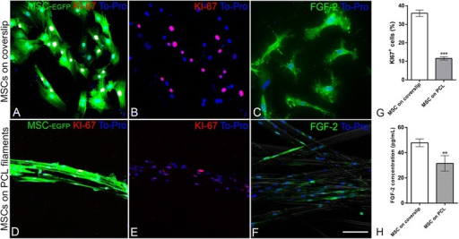 Cell proliferation and fibroblast growth factor-2 (FGF-2) expression in the presence of poly-caprolactone (PCL) filaments. a–f Confocal microscopy optical sections of enhanced green fluorescent protein (EGFP)-mesenchymal stem cells (MSC) cultured for 48 h on a coverslip (a–c) or on PCL filaments (d–f) immunolabeled for KI-67 (red) (a, b, d, e) or FGF-2 (c, f). Cell nuclei were stained with To-Pro (blue). g Quantitative analysis showing the percentage of KI-67+ MSC on a coverslip or PCL filaments. h Quantitative analysis of the FGF-2 concentration (pg/mL) detected by ELISA assay in the conditioned medium from MSC cultures on a coverslip or with PCL filaments. Scale bars: a–f = 100 μm. ***p < 0.0001, **p < 0.001, Mann-Whitney