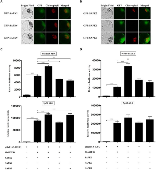 Over-expression of SAPKs cannot increase trans-activation activity of OsbZIP46 significantly in wild-type rice protoplasts in the presence of ABA. (A,B) Expression analysis of GFP:SAPK2, GFP:SAPK6, and GFP:SAPK9 in rice protoplasts. After transfection, protoplasts were incubated for (A) 2 h and (B) 4 h. GFP signal of GFP:SAPK2, GFP:SAPK6, and GFP:SAPK9 was detected after 2 h incubation and gradually increased. GFP:SAPKs were used at 10 μg per transfection. Exposure time of GFP fluorescence was 600 ms. Chlorophyll autofluorescence is in red to distinguish it from GFP (green) fluorescence. (C,D) Dual luciferase assay after 2 h (C) and 4 h (D) incubations. Flag-tagged SAPK2, -6, and -9 were transfected with HA-tagged OsbZIP46, pRab16A-fLUC reporter plasmid and pArUBQ-rLUC plasmid as an internal control. After transfection, protoplasts were incubated for 2 and 4 h in the presence of 0 and 5 μM ABA under light. The mean value of relative luciferase activity for three independent experiments is shown, and error bars indicate SD; ANOVA with Tukey's test, ∗P < 0.05, ∗∗P < 0.01, ∗∗∗P < 0.001.