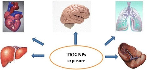 A simple diagram of bio-distribution of Ti after TiO2 NPs exposure