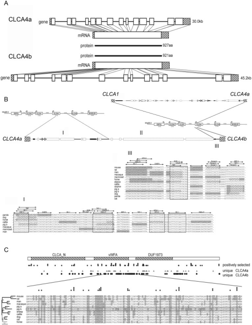 Comparison of the genomic structures of CLCA4a and CLCA4b, their promoter regions and the encoded proteins sequences.(A) Albeit having longer intronic sequences than CLCA4a (top panel), the genomic structure of CLCA4b (bottom panel) was highly similar to its paralog with the same number of exons (boxes) and has an open reading frame according to its ortholog. Due to a deletion of one amino acid in exon 2 and a gap of 5 amino acids in exon 14 the translated CLCA4b protein is slightly shorter than the CLCA4a protein with 921 vs. 927 amino acids (aa). (B) The intergenic region between CLCA1 and CLCA4a showed high homology to the orthologous bovine and human regions (top panel). In the intergenic region between CLCA4a and 4b, only the sequence downstream to CLCA4a showed homology to the corresponding bovine and human regions (I) followed by a sequence with no similarity to any sequence of mammalian CLCA loci investigated (II). In contrast, the region proximal to CLCA4b had homology to the intergenic region upstream from the human and bovine CLCA4 gene (III) (bold style: regions with similarity to both species, faint style: regions without similarity to any of the species, boxes: repetitive elements). In regions I and III, parts are conserved among the examined mammalian species and contain numerous putative transcription factor binding sites (TFB). Sequences not fully conserved at TFB sites in distinct species are shaded; sequences not matching the prerequisites of the binding sites in distinct species are densely shaded. C) Alignment of 11 protein sequences clustering to the CLCA4 family revealed three conserved domains, the CLCA_N domain, the van Willebrand-factor A domain and a domain of unknown function (DUF). Sites of positive selection were defined by the codonML software, using the model algorithms 3 (discrete, naïve empirical bayes) and 8 (beta & omega > 1, naïve empirical bayes). Sites that are proposed to be positively selected are marked with a rhombus, sites that are proposed as significantly (p > 95%) or highly significantly (p > 99%) positively selected in both algorithms have two or three rhombi, respectively. In comparison, positions that are unique for CLCA4a or CLCA4b are labeled with triangulars or circles, respectively. A conserved region covering parts of the vWFA domain as well as the downstream sequence is shown in detail. Of the 38 unique sites in pCLCA4b in this region, 15 are located at sites under putative positive selection.