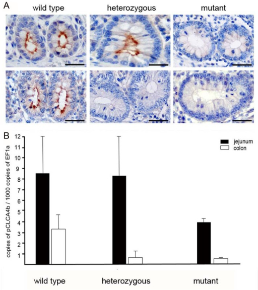 The CLCA4b protein is exclusively located in apical membranes of intestinal crypt epithelial cells and shows high variations in response to the genomic deletion of CLCA4b.(A) In wild type pigs without the genomic deletion of CLCA4b, the protein is invariably located at apical membranes of non-goblet and goblet cells in the crypts of the small (upper left) and large (lower left) intestines. In heterozygous pigs, the protein is similarly distributed in the small intestine (upper central) whereas it is completely absent from the large intestine (lower central). In pigs with the genomic deletion of CLCA4b, no CLCA4b protein was detected, neither in the small (upper right) nor in the large intestine (lower right). Immunohistochemistry using antibody CLCA4b-N-1 diluted 1:8,000. Bars: 80 μm. (B) Quantitative RT-PCR expression analysis from jejunum (black) and colon tissues (white) revealed CLCA4b expression twice as high in the jejunum than in the colon of CLCA4b wild type pigs (left). When compared to wild type pigs, CLCA4b mutant pigs (right pattern) had a markedly decreased amount of CLCA4b mRNA in both the jejunum and colon. While CLCA4b mRNA copy numbers were also reduced in the colon of heterozygous compared to wild type pigs, copy numbers of CLCA4b in the jejunum were markedly increased (central pattern). Results are mean +/- SEM.