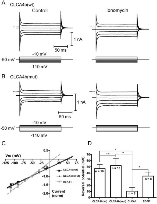 CLCA4b does not evoke a calcium-dependent chloride current characteristic of other CLCA family members.(A) Currents were evoked in HEK293 cells expressing CLCA4b (wt) by a series of voltage steps (150 ms, -110 to -10 mV) before (left) and after (right) application of the calcium ionophore ionomycin (10 μM). Ionomycin stimulated an inward current at the holding potential of -50 mV and increased the amplitude of step-evoked currents. (B) Similar experiment for HEK293 cells expressing CLCA4b (mut). In A and B, zero current is indicated by the dotted lines. (C) Current-voltage relationship for the difference currents were obtained by subtracting the step-evoked currents before from those after ionomycin application. Linear extrapolation was used to determine the reversal potential (Erev) for the ionomycin-stimulated currents which were normalized to the current at the holding potential (-50 mV). (D) Mean Erev for ionomycin-stimulated currents in cells expressing CLCA4b (wt) (n = 10), CLCA4b (mut) (n = 13), CLCA1 (n = 8), serving as a positive control, or EGFP alone (n = 8), which served as a negative control. *p < 0.005, n.s. p > 0.05, independent t-test.