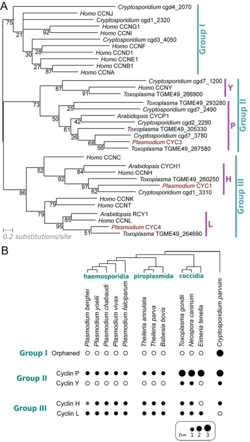 "Characterisation of the cyclin repertoire of the Apicomplexa.(A) Maximum likelihood phylogeny based on an alignment of cyclins from Plasmodium falciparum, Toxoplasma gondii, Cryptosporidium parvum and Homo sapiens. CYCP1 and CYCH1 from Arabidopsis thaliana have been included for clarity. Topology support from bootstrapping is shown at nodes. (B) Distribution of cyclin families across Apicomplexa. Presence (filled dot) or absence (empty circle) of specific families of cyclin in each predicted proteome is shown. Dot area is proportional to number of putative proteins. The Group I cyclins in Cryptosporidium cannot be placed reliably into any specific families within the group (""Orphaned""). *The Plasmodium berghei predicted proteome (release 9.3; plasmodb.org/) contains no apparent orthologue of CYC1, as the likely gene encoding the protein on Chromosome 13 (downstream of PBANKA_132730, syntenic with cyc1 in other Plasmodium species) is interrupted by a sequence gap."