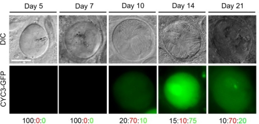Expression of CYC3-GFP during sporogony in mosquitoes.Fluorescence microscopy of CYC3-GFP at different time points: 5, 7, 10, 14 and 21 dpi during development in the mosquito. Scale bar = 20 μm. Representative percentage of oocysts that either: do not express GFP (black number), have a low expression of GFP (red number) or have a high expression of GFP (green number).
