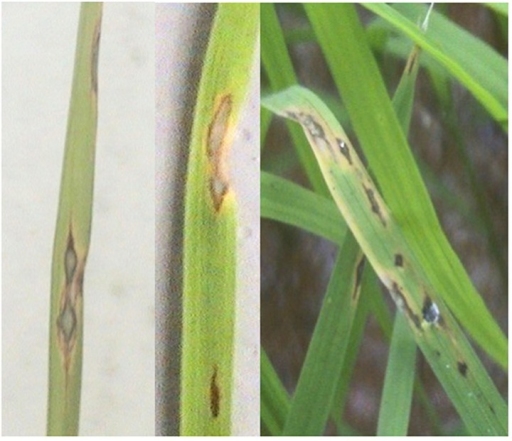 Leaf blast disease symptoms. Lesions are typically spindle-shaped; wide in the center and pointed toward either end. Large lesions usually develop a diamond shape with a grayish center and brown margin.