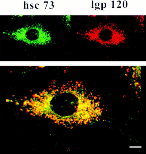 Distribution of ly-hsc73 and lgp120 by confocal microscopy using a narrow optical section. Fibroblasts were serum deprived overnight, methanol fixed, and then incubated with mAb  13D3 and anti-lgp120 simultaneously followed by Texas red– and  fluorescein-conjugated second antibodies to reveal ly-hsc73 (green)  and lgp120 (red). The thickness of the optical section analyzed  was 0.09 μm. Colocalization of both proteins registers as yellow/ orange. (Insets) Left panel, fluorescein channel; right panel,  Texas red channel. Bar, 10 μm.