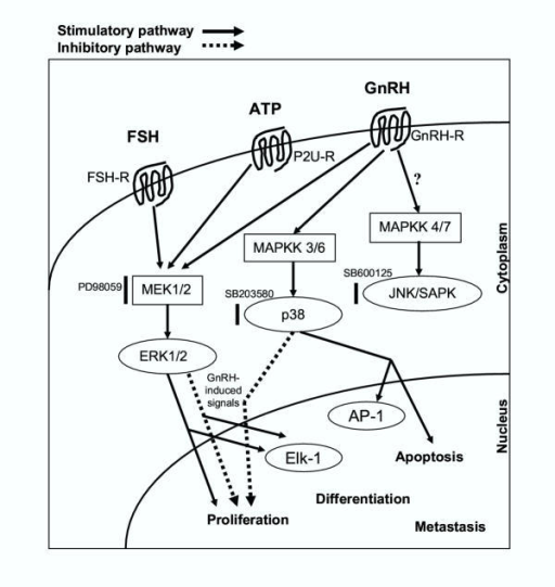 Activation of the MAPK signaling pathway by FSH, ATP and GnRH in ovarian cancer.