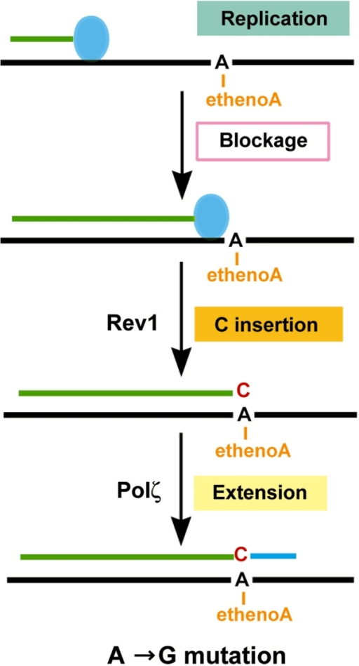 A mechanistic model for translesion synthesis of the 1,N6-ethenoadenine DNA adduct in yeast cells. The replication complex (represented by the filled blue oval) is blocked by the lesion, signaling translesion synthesis. Translesion synthesis is mediated predominantly by C insertion opposite the lesion catalyzed by the Rev1 dCMP transferase. Extension synthesis by Polζ completes the lesion bypass. This major mechanism of translesion synthesis results in A→G transition mutations.