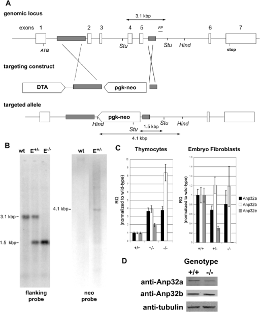 Generation and Validation of Anp32e-deficient mice.A. Targeting of the Anp32e gene. The diagram shows the murine genomic Anp32e locus and the targeting construct that replaced exons 2 to 6 with a pgk-neo cassette. Regions of homology in the targeting construct are shaded. Stu, StuI sites used for Southern blotting. Hind, HindIII sites used for Southern blotting of neo. FP, flanking probe. The sizes of the diagnostic Stu1 fragments for the wild-type Anp32e allele (3.1 kb) and the targeted Anp32e allele (1.5 kb) as well as the diagnostic HindIII fragment for neo insertion (4.1 kb) are shown. B. Confirmation of deletion. DNA from fetal Anp32e+/+ (wt), Anp32e+/− (E+/−), and Anp32e−/− (E−/−) mice was subjected to Southern blotting using the flanking probe in shown in diagram 1A (within intron 6). DNA from Anp32e+/+ (wt) and Anp32e+/− (E+/−) ES cells was also subjected to southern blotting with a neo probe in order to confirm a single vector insertion. C. Validation of Anp32e mRNA deficiency. Quantitative RT-PCR of mRNA from primary MEFs from Anp32e+/+, Anp32e+/− and Anp32e−/− embryos at E14.5, and (bottom) thymocytes from Anp32e+/+, Anp32e+/− and Anp32e−/− mice at 4–8 weeks of age. Expression levels of Anp32a (black bars), Anp32b (grey bars), and Anp32e (white bars) mRNAs are shown relative to levels in Anp32e+/+ mice. Error bars represent the standard deviation from the mean across three technical replicates per sample. D. Absence of compensatory induction of other Anp32 proteins. Protein extracts from lymphocytes of Anp32e+/+ (wt) and Anp32e−/− (E−/−) mice were probed for Anp32a, Anp32b, and beta-tubulin expression.
