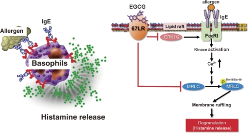 Model of possible EGCG signaling pathway for anti-allergic actions through 67LR. The suppression of MRLC phosphorylation through the cell-surface binding to the 67LR contributes to the inhibitory effect of EGCG on the histamine release from basophils. The 67LR also mediates the EGCG-induced suppression of FcεRI expression in basophils by reducing ERK1/2 phosphorylation.