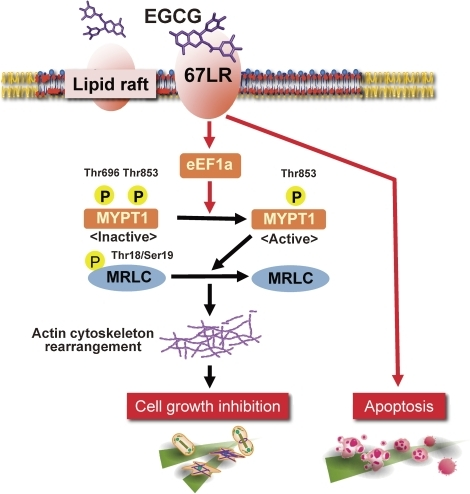 The signaling pathways that sense and respond to EGCG through 67LR are depicted. After EGCG binding to lipid raft-associated 67LR, through eEF1A, the phosphorylation of MYPT1 at Thr-696 but not Thr-853 is reduced, which leads to the activation of myosin phosphatase. The activated myosin phosphatase dephosphorylates its substrates (e.g. MRLC), and actin cytoskeleton rearrangement is induced. The alteration of actin cytoskeleton might lead to cell growth inhibition. EGCG also induces apoptosis in the 67LR-expressing cells derived from multiple myeloma and acute myeloid leukaemia patient samples.