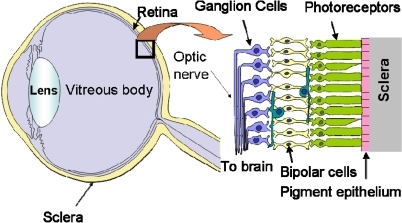 Schematic illustration of the structure of the eye and | Open-i