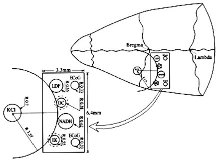 Schematic illustrations of the multiprobe assembly (MPA) system. Left side: The localization of the various sensors on the cortex.Right side: Location of the MPA on the rat cranium. LDF - light guide connected to the laser Doppler flowmeter; NADH - light guideconnected to the fluorometer/reflectometer for NADH fluorescence and 366 nm reflectance; EK - selective K+ electrode; DC - direct currentelectrode; KCl - push-pull cannula for CSD initiation; ECoG - bipolar ECoG electrodes. R - radii of the circumference of the embeddedprobes.