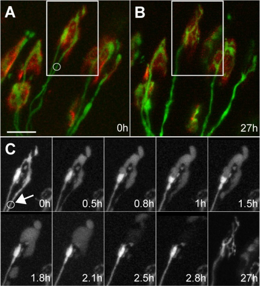 Time course of removal of laser-target input and takeover by another at developing neuromuscular junction.(A) In vivo image of region in a P7 mouse sternomastoid muscle. Boxed area shows a neuromuscular junction innervated by two axons (green, YFP-filled axons; red, α-bungarotoxin-tagged acetylcholine receptors). The axon on the right in the boxed region was irradiated with a mode-locked infrared laser at the site of the circle. (B) The same region of muscle reimaged 27 h later showing that the irradiated axon has completely disappeared. (C) Time-lapse imaging reveals that the remaining axon grows to occupy the sites that were vacated by the damaged axon (arrow points to site of irradiation). Within 0.5 h of irradiation the right axon's terminal branches swell and clearly reveal that the undamaged axon, that remained brightly fluorescent, terminated in a bulb. The swelling of the damaged axon deformed the shape of the intact axon's terminal bulb (panels at 0.8, 1, and 1.5 h). At 1.8 h, the bulb recovered its original shape, presumably because the damaged input had lost its turgor presumably due to membrane leakage. Over the next hour, the fluorescence in the damaged terminals became fainter, its axon fragmented (see 1.8 h), and it largely became invisible. Reimaging the junction 27 h after damage showed that the remaining axon branched to occupy many of the sites previously occupied by the laser irradiated axon. Scale bar, 20 µm.