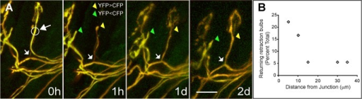 Previously retracted axons reinnervate their former neuromuscular junctions after laser-targeted removal of the innervating axon.(A) Shown is a singly innervated neuromuscular junction with a nearby recently retracted axon (tipped by a bulb) in the sternomastoid muscle of P7 mouse in vivo. The pulsed laser irradiated the axon innervating the neuromuscular junction at the circle marked by a large arrow. After 1 h, the irradiated axon was mostly invisible, leaving the bulb-tipped retracting input unchanged. By the next day (1 d), the retracting input had reversed direction and nearly completely reinnervated the junction. After 2 d (2 d) the caliber of the reinnervating axon and its terminal branches increased. In this experiment it was unambiguous that the regenerated axon was the former withdrawing axon because the two axons could be distinguished by their relative concentrations of YFP and CFP. The bulb-tipped axon could also be re-identified after it reinnervated the junction because of the location of its proximal branch point (indicated by the small arrow in each image). Scale bar, 20 µm. (B) Graph showing the incidence of return of retracting axons as a function of its distance from the junction at the time of laser axotomy of the innervating axon (also see Table 1B). The percentages were computed relative to the total number of retracting axons studied. Retracting axons 10 µm or closer appeared more likely to return than ones farther away.