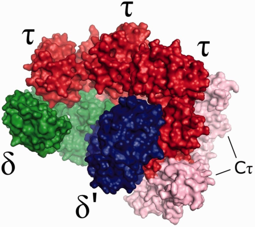 A homology model of the B. subtilis clamp-loader complex, with δ, δ′ and τ subunits represented in green, blue and red, respectively. The Cτ domain of the τ subunit is represented in pink.
