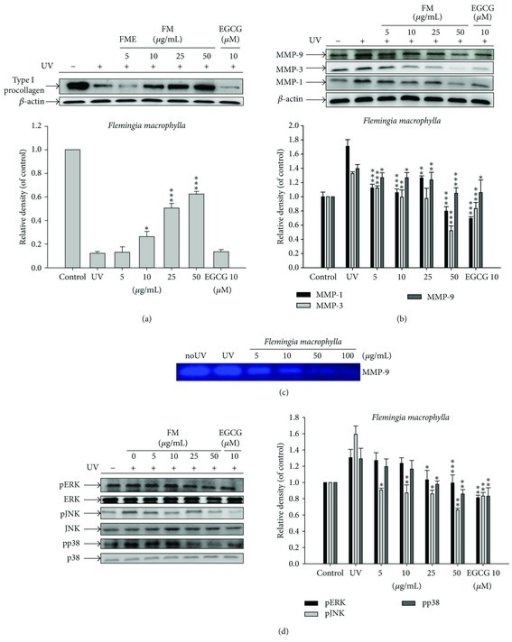 Effect of FME on the UV-induced (a) type I procollagen expression in human fibroblasts; (b) MMP-1, MMP-3, and MMP-9 expression in human fibroblasts; (c) MMP-9 by gelatin zymography in the culture medium of human fibroblasts; and (d) MAP kinases expression in human fibroblasts.