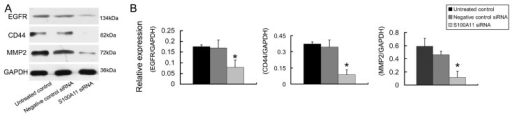 The effects of S100A11 silencing on the expression of migration related proteins in Hep-2 cells. A: The protein expression levels of EGFR, CD44 and MMP2 were analyzed by western blotting in Hep-2 cells that had been transfected with S100A11 siRNA. B: Histograms represent the intensities of the EGFR/GAPDH, CD44/GAPDH and MMP2/GAPDH protein expression ratios.