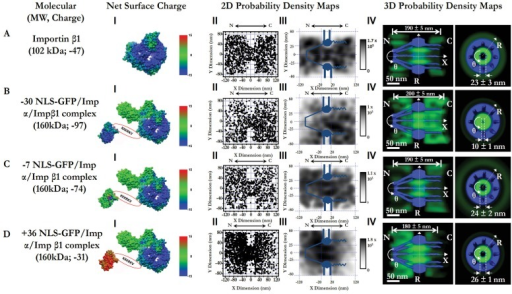 3D pathways of Imp β1 alone and Imp α/Imp β1 in complex with differently charged GFP cargo (−30 NLS-GFP), −7 NLS-GFP and +36 NLS-GFP).(A) Imp β1 alone. Calculated electrostatic surface potentials of Imp β1 range from −15 kT/e (dark blue) to +15 kT/e (dark red), and neutral charge 0 is shown in green (I). Superimposed plots of localizations of single molecules located primarily within a rectangular area of 240×160 nm (II). N, the nucleoplasmic side of the NPC; C, the cytoplasmic side of the NPC. The locations in each 10×10 nm area were quantized and filtered with a Gaussian blur function to generate the 2D probability density map overlaid onto the NPC architecture (light blue). The highest density was 1.7×105 locations/µm2 and the lowest was 0 locations/µm2, shown in gray (III). A 3D probability density map (green cloud; brighter color indicates higher density) is shown in both side-view and a top-view orientations superimposed on the NPC architecture (blue). The length of pathway and the diameter at the central plane of NPC was measured and is labeled in nanometers. N, the nucleoplasmic side of the NPC. C, the cytoplasmic side of the NPC. (B–D) Nucleocytoplasmic transport pathways of −30NLS-GFP/Impα/Impβ1, −7NLS-GFP/Impα/Impβ1 and +36NLS-GFP/Impα/Impβ1.