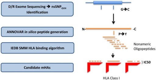 Bioinformatics workflow for calculating HLA-specific alloreactivity potential in individual DRP. Starting with donor and recipient whole exome sequence data, non-synonymous SNP with a GVH vector (nsSNPGVH) were identified, and peptide fragments generated using the ANNOVAR software package. These peptides, together with HLA data (Table 1) were then analyzed with IEDB SMM and NetMHCpan algorithms separately. Individual DRP binding data were then analyzed and candidate mHAs cataloged.