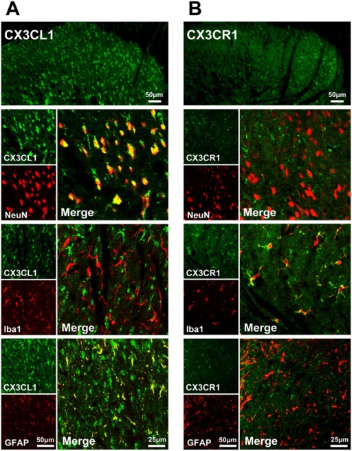 Expression of CX3CL1 and CX3CR1 in the spinal dorsal horn.Double immunofluorescence reveals that CX3CL1 co-localized with NeuN (neuronal marker) and GFAP (astrocyte marker), no immunoreactive singal in Iba1-labled microglia (A); CX3CR1 was expressed in Iba1-labled microglia in naïve rats and failed to co-localize with NeuN and GFAP (B).