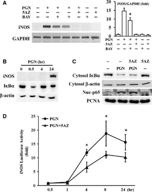 Effect of 5AZ on nuclear factor kappa B (NF-κB) activation and iNOS promoter activity. (A) RAW264.7 cells were stimulated with PGN in the presence of BAY11-7082, an inhibitor of NF-κB. (B) RAW264.7 cells were stimulated with PGN for the indicated time and IκBα was degraded at 30 min. (C) Cells were treated with PGN for 30 min. and cytosolic IκBα was degraded and p65 was translocated to the nuclear fraction. 5AZ did not change PGN-induced IκBα degradation and p65 nuclear translocation. (D) iNOS promoter activity was measured at various times. Promoter activity was significantly increased at 4 hrs and reached a maximum at 8 hrs. Increased promoter activity was reduced after 5AZ treatment.