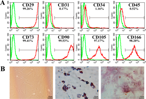 MSC characterization.(A) Flow cytometry results demonstrated that MSC were uniformly negative for CD31, CD34 and CD45 and positive for CD29, CD73, CD90 CD105 and CD166 expression. (B) Isolated MSC showed fibroblast-like shapes and exhibited multi-differentiation capacity. Bar, 25 μm.