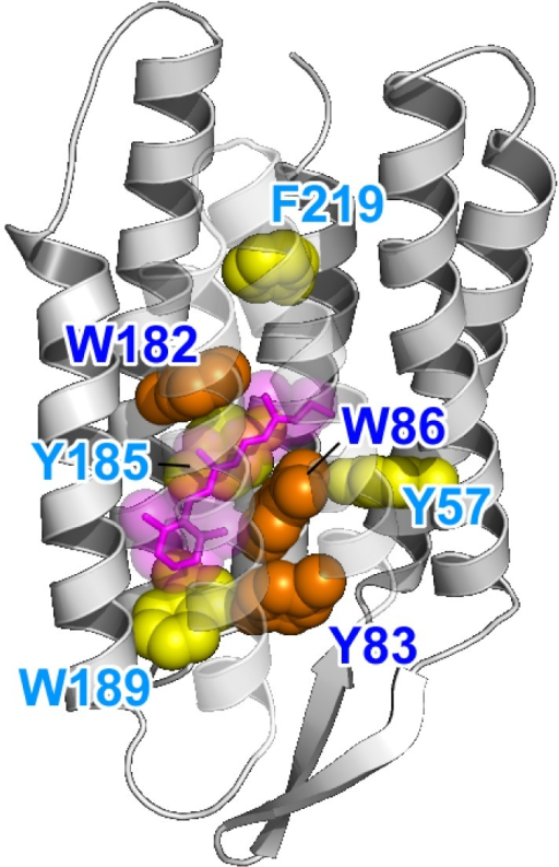 Highlighted BR structure with the retinal chromophore, W86, W182, and Y185 (PDB: 1QM8). Y83, W86, and W182 are strongly conserved among the microbial rhodopsins (orange). Aromatic residues are strongly conserved at the Y185, W189, and F219 positions (yellow). In BR, W86, W182, Y185, and W189 constitute the chromophore binding pocket for all-trans retinal (red).