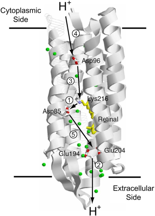 H+ transport pathway in bacteriorhodopsin (BR). Arrows indicate each H+ transfer, and the numbers indicate a temporal order; (1) Schiff base to D85, (2) H+ release, (3) D96 to Schiff base, (4) uptake, and (5) D85 to the H+ release group.