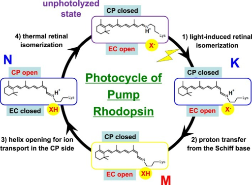 Typical photocycle of microbial rhodopsins showing isomeric and protonation state of retinal. X− represents the Schiff base counterion, and D85 in BR also acts as the H+ acceptor from the Schiff base. In a Cl− pump such as HR and FR, X− is a Cl−, so that the M intermediate is not formed because the Schiff base is not deprotonated. Instead, the Cl− is transported upwards (in this figure). In KR2, a Na+ pump, X− is a D116 acting as the Schiff base counterion and H+ acceptor from the Schiff base. CP and EC indicate cytoplasmic and extracellular domains, respectively. In the unphotolyzed state of microbial rhodopsins, the EC side is generally open through a hydrogen-bonding network but the CP side is closed. While this is persistent in the K and M states, the CP side is open in the N state. When the EC side is closed (black), the CP side is open, as is the case for an ion pump, as occurs in the N intermediate of BR. Such alternative access must work for all H+, Cl−, and Na+ pumps.
