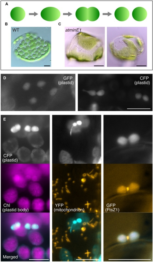 Utility of cyan fluorescent protein (CFP) to investigate plastid morphology in Arabidopsis leaf epidermis. (A–C) A framework describing the replication and morphology of leaf mesophyll chloroplasts. Schematic diagram of chloroplast replication by binary fission (A) and chloroplast phenotypes in WT (B) and atminE1(C) leaf mesophyll cells are shown. (D) Detection of plastid-targeted green fluorescent protein (GFP, left) and CFP (right) in leaf epidermis. (E) Dual detection of plastid-targeted CFP and chlorophyll (Chl magenta-colored), mitochondria-targeted YFP (orange-colored) or FtsZ1–GFP (orange-colored) in leaf epidermis. (D,E) Leaves from 2-week-old seedlings of WT-background transgenic lines were observed by fluorescence microscopy. In merged images, CFP fluorescence is colored in cyan. Bars = 5 μm (black) and 10 μm (white).