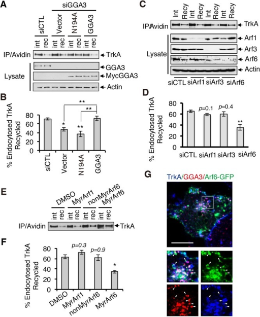 GGA3-mediated TrkA recycling requires Arf6. (A) Analysis of TrkA recycling in GGA3-depleted PC12 (615) cells rescued with control cDNA (vector) or siRNA-resistant GGA3 wild type or GGA3 mutant unable to bind Arf-GTP (GGA3-N194A). Recycling assays were performed as described in Figure 3A. int, internalized biotinylated TrkA before rewarming; rec, remaining biotinylated receptors after 45 min of rewarming (recycling). (B) Quantification of the degree of TrkA recycling from three independent experiments (as described in A). The amount of recycled TrkA is expressed as the percentage of the pool of biotinylated TrkA after the 7-min internalization period and before rewarming. One-way ANOVA, *p < 0.05, **p < 0.01. (C) Analysis of TrkA recycling in PC12 (615) cells treated with control, Arf1, Arf3, and Arf6 siRNA. Recycling assays were performed as described in Figure 3A. int, internalized biotinylated TrkA before rewarming; rec, remaining biotinylated receptors after 45 min of rewarming (recycling). (D) Quantification of the degree of TrkA recycling from three independent experiments (as described in C). The amount of recycled TrkA is expressed as the percentage of the pool of biotinylated TrkA after the 7-min internalization period and before rewarming. One-way ANOVA, **p < 0.01. (E) Analysis of TrkA recycling in PC12 (615) cells treated with dimethyl sulfoxide (vehicle), MyrArf1, MyrArf6, and NonMyrArf6 (nonpermeant Arf6 peptide control). Recycling assays were performed as described in Figure 3A. int, internalized biotinylated TrkA before rewarming; rec, remaining biotinylated receptors after 45 min of rewarming (recycling). (F) Quantification of the effects of MyrArf1, MyrArf6, and NonMyrArf6 peptides on the degree of TrkA recycling from three independent experiments (as described in A). One-way ANOVA, *p < 0.05. (G) Confocal microscopy images comparing the distribution of Arf6-GFP, endogenous GGA3, and cell surface–labeled TrkA receptors (5C3 antibodies) internalized for 15 min in PC12 (615) cells. Insets, regions of higher magnification; arrowheads indicate TrkA-labeled vesicles. Scale bar, 10 μm.