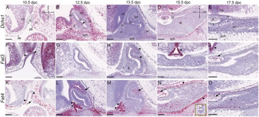 Expression of putative upstream Hippo pathway regulators during pituitary development. RNAscope mRNA in situ hybridization using probes against Dchs1, Fat3 and Fat4 on sections of wild type CD1 embryos between 10.5dpc and 17.5dpc. (A–E)Dchs1 is expressed in mesenchyme surrounding Rathke's pouch and in neural tissue but absent from Rathke's pouch epithelium (A). Expression in mesenchyme and neural tissue persists at 12.5dpc (B) and 13.5dpc (C) where transcripts are also detectable in RP (arrowhead in B). Expression in all pituitary lobes, the hypothalamus and surrounding mesenchyme is detectable at 15.5dpc (D) and 17.5dpc (E). Note the reduced expression of Dchs1 in the epithelium surrounding the third ventricle in (D,E). (F–J)Fat3 is strongly expressed in Rathke's pouch (arrowheads), surrounding mesenchyme, and neural tissue at 10.5dpc (F). Reduced levels are detected in all tissues between 12.5dpc and 17.5dpc. At 12.5dpc there is a dorsal bias in expression in RP (G), more clearly visible at 13.5dpc (arrowheads in H). Strong expression is detected in the epithelium surrounding the third ventricle at 15.5dpc and 17.5dpc (arrowheads in I,J) and in the posterior pituitary (arrow in J). (K–O)Fat4 transcripts are detected in RP at 10.5dpc (arrowheads in K), in surrounding mesenchyme and neural tissue but excluded from the pharyngeal endoderm (arrow in K). Note the very strong expression in the rostral tip of the anterior pituitary (arrowheads in L,M) at 12.5pc and 13.5dpc and in the ventral diencephalon and infundibulum (arrows in L,M), persisting in the posterior lobe (arrows in N,O). Expression is high in surrounding mesenchyme (arrowheads in N). The box in (N) shows the epithelium around the third ventricle displaying low-level expression. The outlines in (D,E,I,J,N,O) surround anterior pituitary tissue derived from Rathke's pouch. Abbreviations: rp, Rathke's pouch; vd, ventral diencephalon; m, mesenchyme; oe, oral ectoderm; pe, pharyngeal endoderm; inf, infundibulum; sph, sphenoid; rt, rostral tip; pl, posterior lobe; al, anterior lobe; il, intermediate lobe; hy, hypothalamus; 3v, third ventricle. Sagittal sections between 10.5dpc and 13.5dpc and frontal between 15.5dpc and 17.5dpc. Axes in (A) applicable to (A–C,F–H,K–M: d, dorsal; v, ventral; r, rostral; c, caudal). Axes in (D) applicable to (D–E,I–J,N–O: d, dorsal; v, ventral; ri, right; le, left). Scale bars 200 μm.