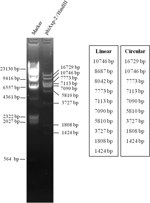 Restriction fragment length polymorphism analysis of phiAxp-2 DNA.Genomic DNA from phage phiAxp-2 was digested with the enzymes indicated (HindIII) and run on an agarose gel (0.7%). The length of fragments generated by digestion of the linear genome or the circular genome was showed on the right side of the electrophoresis map.