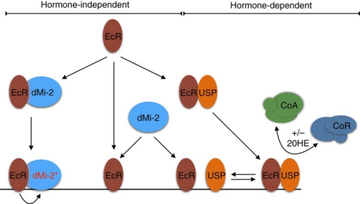 Model.Model detailing hormone-dependent (bimodal switch model) and hormone-independent modes of gene regulation by EcR. EcR can heterodimerize with either dMi-2 or USP. EcR–USP heterodimers recruit corepressor (CoR) or coactivator (CoA) complexes in a hormone-dependent manner. dMi-2 recruitment is independent of hormone. dMi-2 binds to EcR monomers or homodimers in solution (left) or DNA-bound EcR monomers/homodimers that are generated by monomer/homodimer binding to DNA (middle) or by dissociation of DNA-bound EcR–USP heterodimer (right). EcR activates dMi-2 nucleosome remodelling activity.