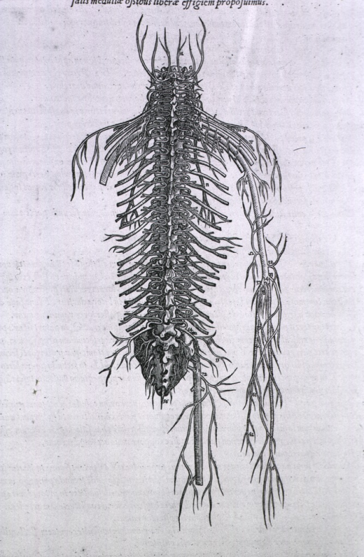 <p>Posterior view of the spinal nervous system.</p>