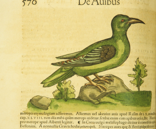 <p>Hand-colored woodcut of the bird in profile.</p>