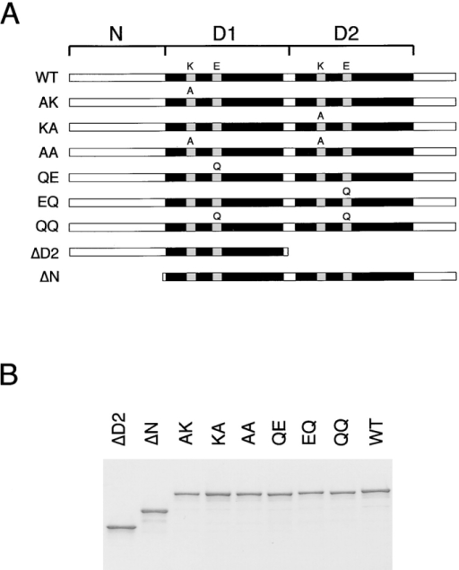 ATPase activity of p97 mutants. (A) Scheme of p97 constructs used in this work (N, NH2-terminal domain; D1, D2, first and second ATPase domain, respectively). The name of each construct is shown on the left. For the wild-type protein (WT), the conserved lysine (K) in the Walker A motif and glutamate (E) in the Walker B motif are indicated. For the mutants, the alanine (A) or glutamine (Q) altered residue is shown. (B) The p97 proteins were expressed in E. coli, purified, and subjected to SDS-PAGE. Shown is the gel after staining with Coomassie blue. (C) The ATPase activity of the different p97 proteins was measured. Shown is the mean of three experiments. (D) Wild-type Cdc48, the yeast homologue of p97, or ATP hydrolysis mutants (QE or EQ) were expressed under the gal promoter in the presence of galactose in the temperature-sensitive cdc48–3 yeast strain at the permissive (30°C) or nonpermissive (37°C) temperature (top). As control, the cells were grown on glucose to repress the genes (bottom).