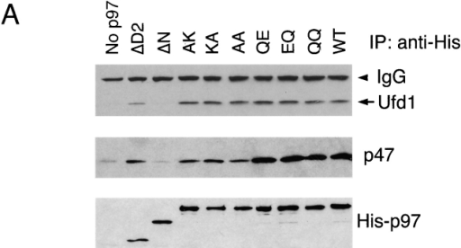 p97 binding to cofactors and membrane requires its N domain. (A) p97 binding to cofactors. Purified His-tagged p97 proteins (His-p97) were added to rat liver cytosol in the presence of 1 M NaCl. After dilution of the salt to 150 mM, p97 was immunoprecipitated with His antibodies. Bound proteins were detected by immunoblotting with antibodies to the indicated proteins. (B) Association of p97 with the membrane. Purified His-p97 proteins were added to permeabilized astrocytoma cells. After incubation, the cells were fractionated into membrane (P) and cytosol (S) fractions. The amount of His-p97 in each fraction was determined by immunoblotting with His antibodies (top). Immunoblotting for calnexin served as a loading control for the membrane fraction (bottom).