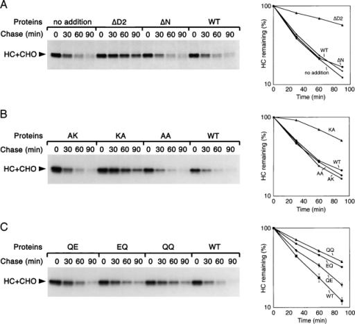 Effect of p97 mutants on MHC class I heavy chain degradation. US11-expressing cells were labeled and permeabilized in the presence of various purified His-p97 proteins. The samples were chase-incubated for different time periods and subjected to immunoprecipitation with heavy chain (HC) antibodies. The graphs show the quantification of the experiments. Error bars in the bottom graph are derived from three experiments.
