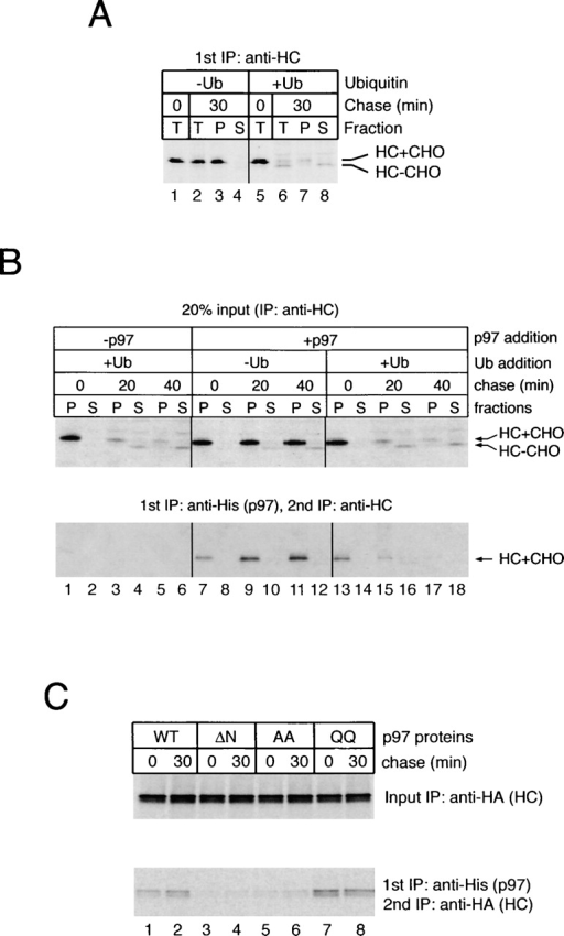 p97 binds to heavy chains that were not ubiquitinated. (A) US11-expressing cells were labeled and permeabilized. The cytosol was removed by high speed centrifugation and replaced with cow liver cytosol that was ubiquitin depleted (−Ub). Where indicated, purified ubiquitin was added back to the depleted cytosol (+Ub). After chase incubation, the samples were either analyzed directly by immunoprecipitation with heavy chain (HC) antibodies (T), or first fractionated into membrane (P) and cytosol (S) fractions before immunoprecipitation with HC antibodies. (B) Purified His-p97 was added during the permeabilization of labeled cells. A portion of the membrane and cytosol fractions was subjected to immunoprecipitation with HC antibodies (top), and the rest was analyzed by sequential immunoprecipitation with His and HC antibodies (bottom). (C) Astrocytoma cells stably expressing hemagglutinin (HA)-tagged MHC class I heavy chains were permeabilized and incubated with ubiquitin-depleted cytosol in the presence of purified wild-type His-p97 or the indicated His-tagged mutant proteins. The membrane fraction was subjected to immunoprecipitation with HA antibodies (top) or His and HA antibodies (bottom). Note that the increase in the amount of p97-associated, HA-tagged heavy chains is less apparent than that in B, which may result from heavy chain overexpression.