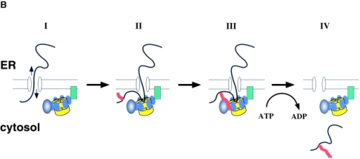 ATPase cycle and substrate recognition of p97. (A) Proposed communication between the two ATPase rings (D1 and D2) of p97. The D2 domain hydrolyzes ATP (T) and releases an orthophosphate (Pi), first converting the ring into its ADP-bound state (D). ATP hydrolysis in D1 follows. (B) A dual recognition model for p97–Ufd1–Npl4 function in retrotranslocation. Protein retrotranslocation is proposed to proceed in four steps. (I) A polypeptide chain emerging from the ER may be able to slide back and forth through the membrane (arrows), probably through a protein-conducting channel. The p97–Ufd1–Npl4 complex is recruited to the membrane by an unknown receptor (green). (II) A nonubiquitinated substrate is initially recognized by p97 (the ATPase domains D1 and D2 are shown in yellow, the N domain in blue). This interaction may prevent the substrate from backsliding into the ER lumen. The substrate also undergoes ubiquitination (red) at the membrane. (III) Once the ubiquitin chain (red) reaches a certain length, it interacts with p97 and the cofactor complex Ufd1–Npl4 (black). (IV) p97 uses ATP hydrolysis to move the polypeptide into the cytosol.