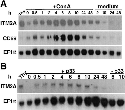 Northern blot analysis of activated splenocytes. (A) C57BL/6 splenocytes were cultured in medium alone (medium) or supplemented with 5 μg/ml ConA (+ConA). (B) P14 splenocytes were cultured alone (−p33) or in the presence of irradiated EL4 cells coated with p33 peptide (+p33). Total RNA was extracted from cells harvested at various times during activation and from an untreated C57BL/6 thymus (Thy). The blots in A and B were hybridized with probes for ITM2A, EF1α, and CD69 (shown for A only).