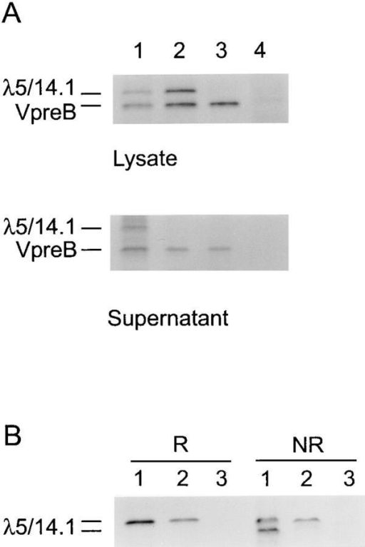 Transfection of  COS7 cells with expression vectors for normal or mutant λ5/ 14.1 and normal VpreB. (A)  Cells were transfected with VpreB  and normal λ5/14.1 (lane 1),  VpreB and mutant λ5/14.1 (lane  2), VpreB alone (lane 3), or an  empty vector (lane 4). After  metabolic labeling, both lysates  and supernatants were immunoprecipitated with antibody to  VpreB. (B) COS7 cells were transfected with normal λ5/14.1 (lane  1), mutant λ5/14.1 (lane 2), or  an empty vector (lane 3), immunoprecipitated using a polyclonal  antilambda antibody, and electrophoresed under reducing (R)  or nonreducing (NR) conditions.