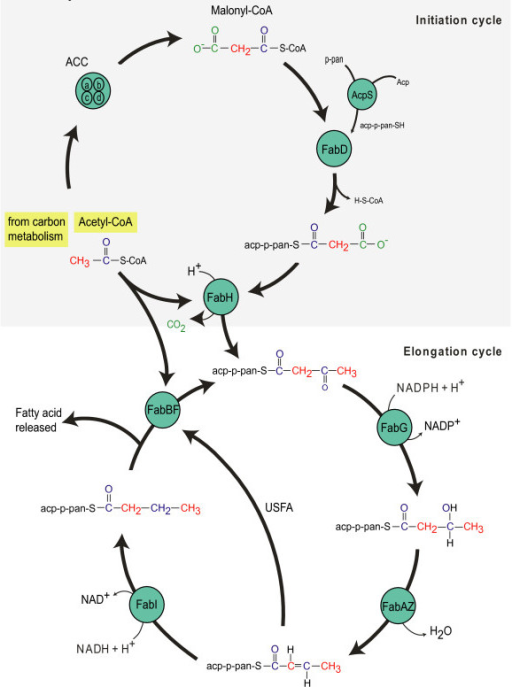 schematic diagram of the flow of carbon during type ii   open ischematic diagram of the flow of carbon during type ii fatty acid biosynthesis in escherichia coli